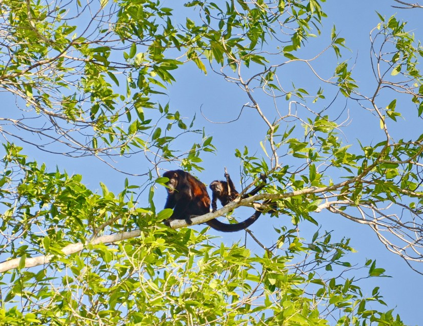 adult and baby howler monkey in a tree, cano negro wildlife refuge, costa rica
