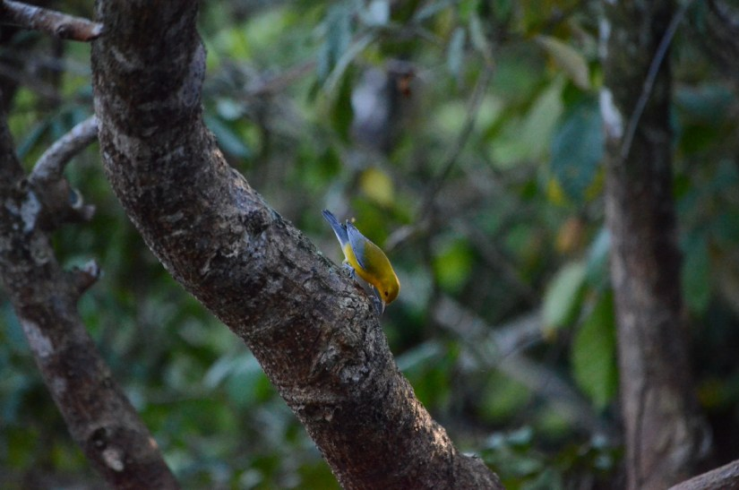 a prothonotary warbler, cano negro wildlife refuge, costa rica