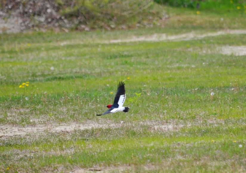 a red-headed woodpecker, the new long point provincial park, long point, ontario