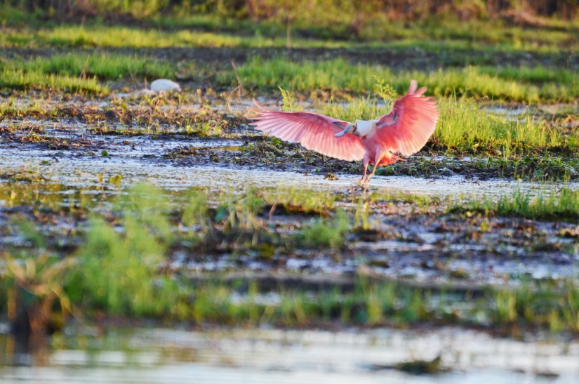a roseate spoonbill landing, cano negro wildlife refuge, costa rica