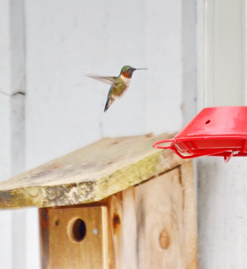 a ruby-throated hummingbird, the old cut, long point, ontario