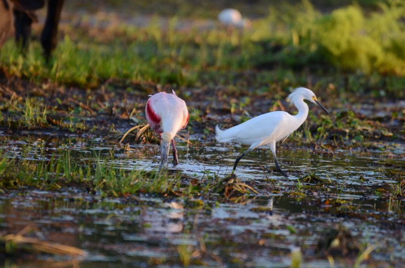 a roseate spoonbill and snowy egret on the mudflats, cano negro wildlife refuge, costa rica