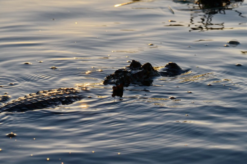 silhouette of spectacled caiman, cano negro wildlife refuge, costa rica
