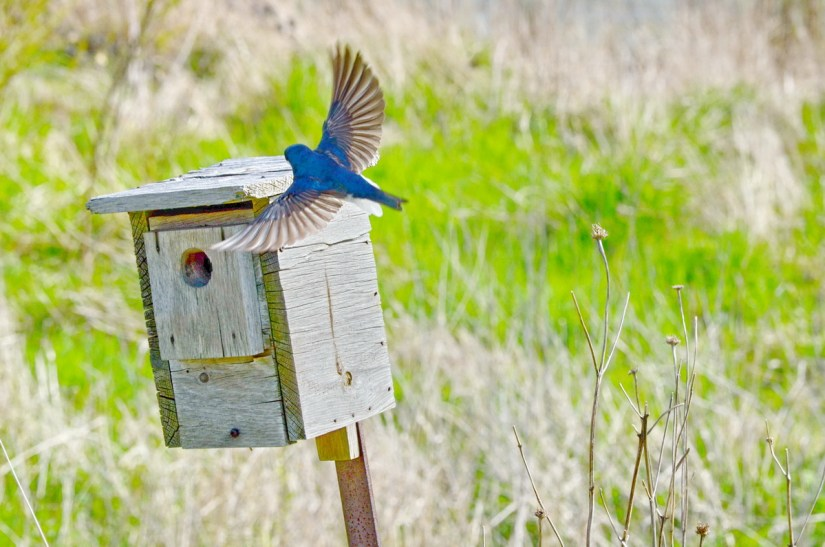 a tree swallow at a nestbox, Bird Studies Canada Headquarters, port rowan, ontario