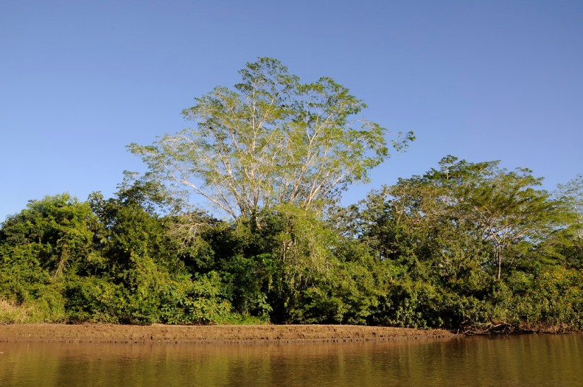 trees along river frio, cano negro wildlife refuge, costa rica