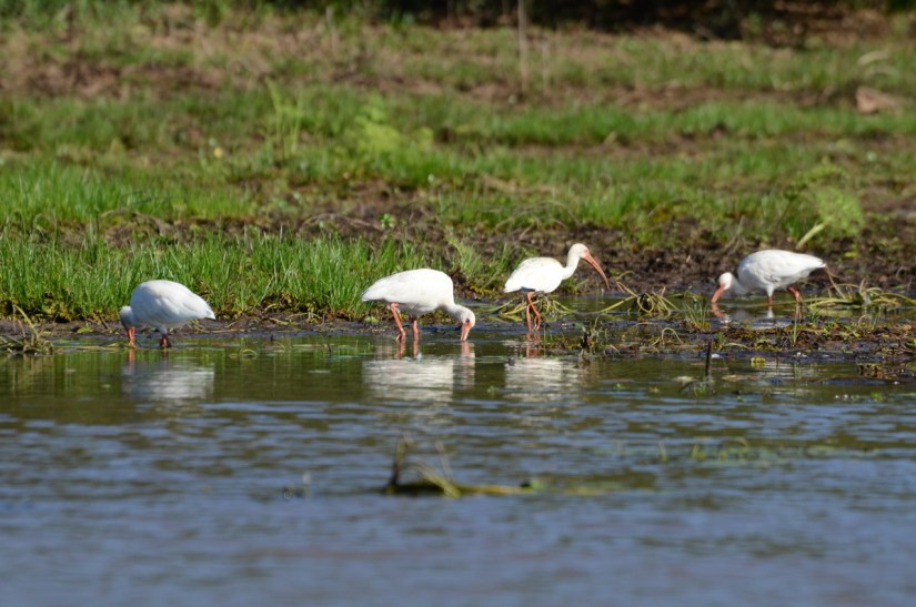 white ibises, cano negro wildlife refuge, costa rica