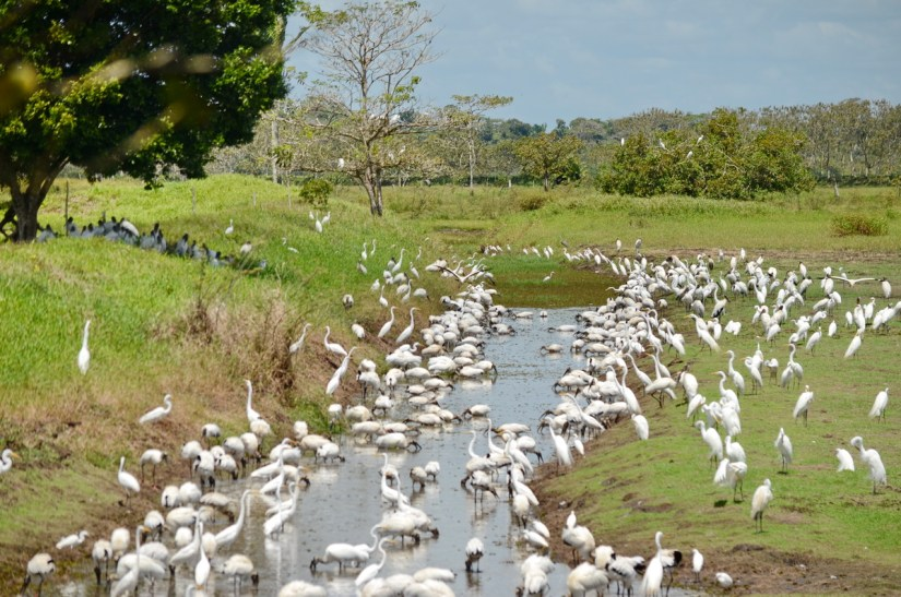 egrets and storks at roadside, cano negro, costa rica