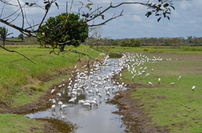 egrets and storks at a waterhole, near cano negro, costa rica