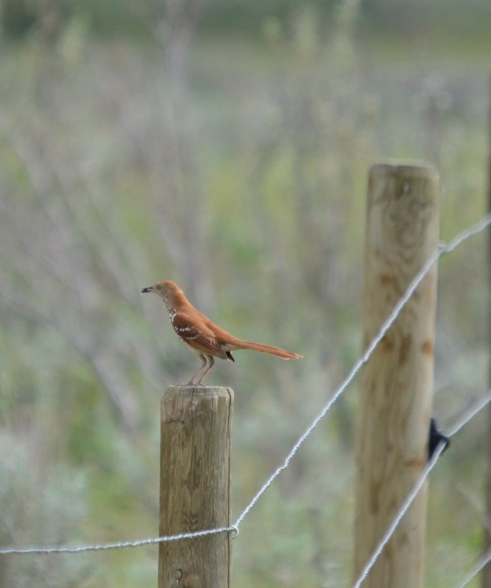 brown thrasher, grasslands national park east block, saskatchewan