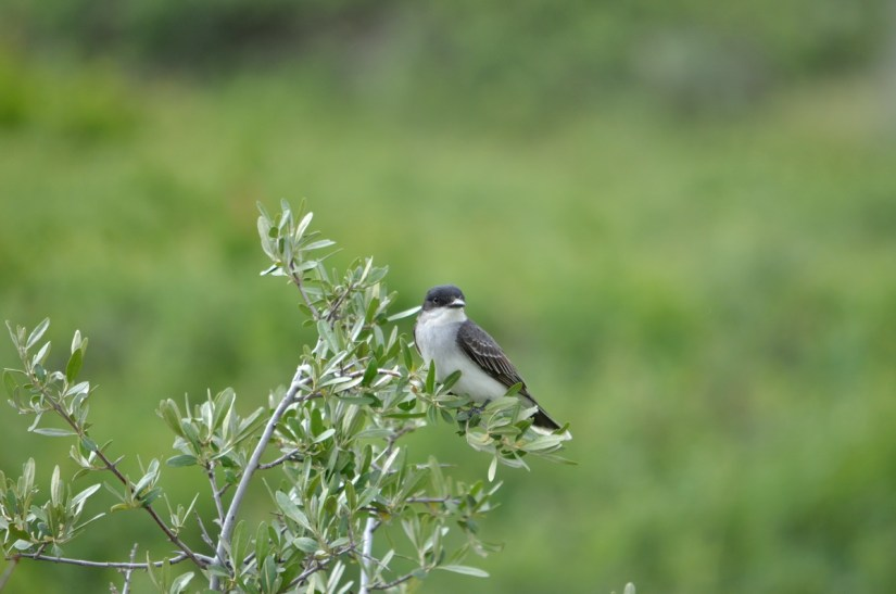 an eastern kingbird, valley of 1000 devils route, grasslands national park east block, saskatchewan