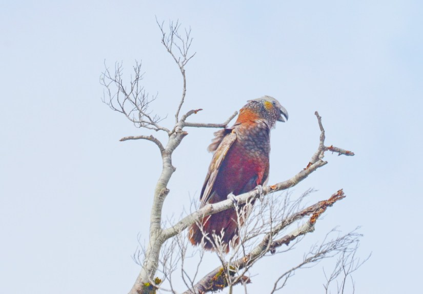 a a kaka parrot, fiordland national park, south island, new zealand