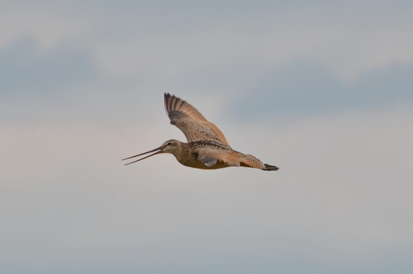 a marbled godwit in flight, saskatchewan