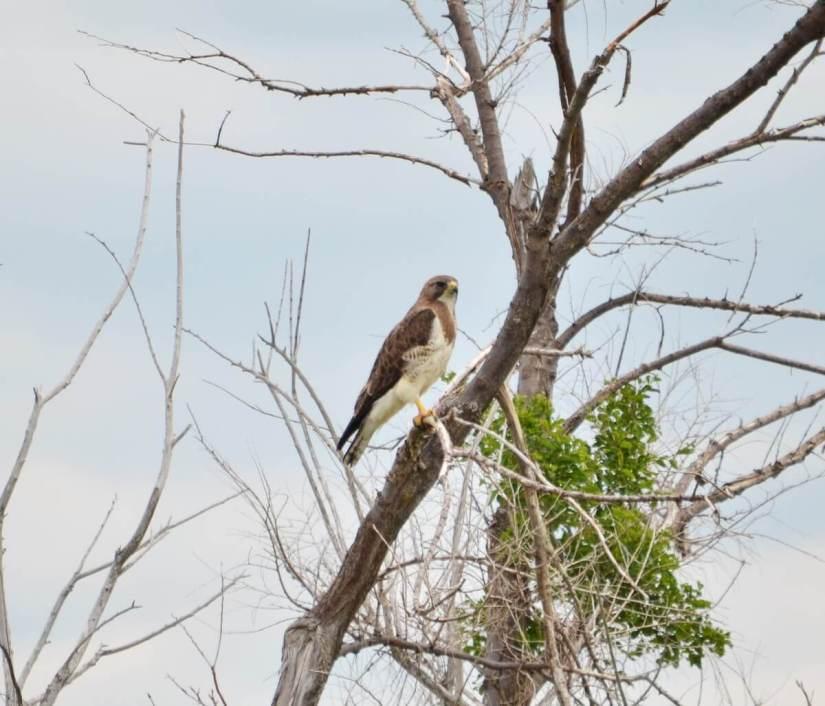 a swainson's hawk, saskatchewan