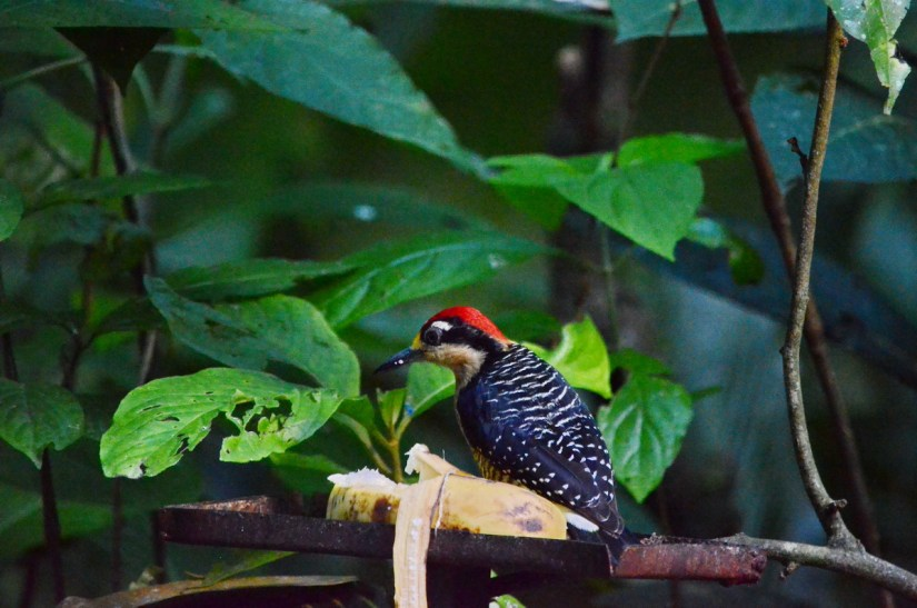 a male black-cheeked woodpecker, ecocentro danaus, la fortuna, costa rica
