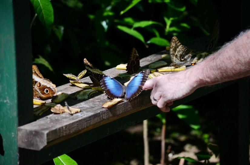 a blue morpho butterfly, ecocentro danaus, la fortuna, costa rica