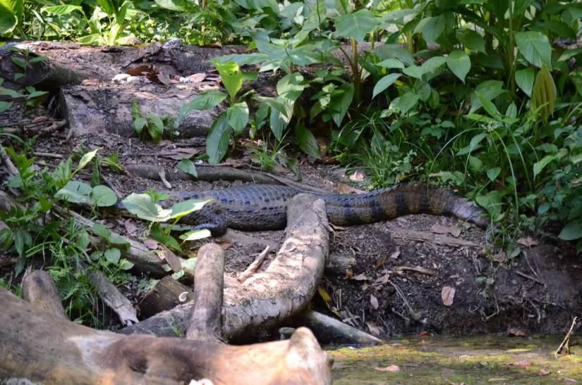 a caiman, ecocentro danaus, la fortuna, costa rica