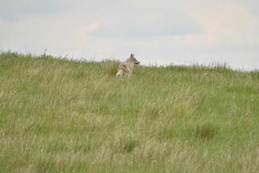a coyote, saskatchewan