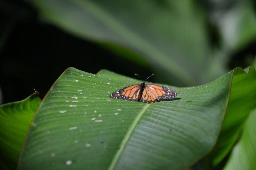 a monarch butterfly, ecocentro danaus, la fortuna, costa rica