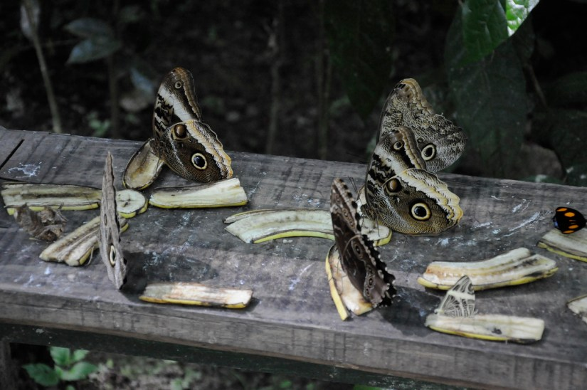 blue morpho and owl butterflies, ecocentro danaus, la fortuna, costa rica