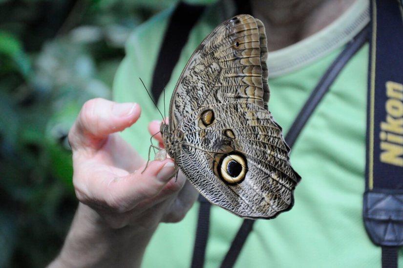 an owl butterfly, ecocentro danaus, la fortuna, costa rica