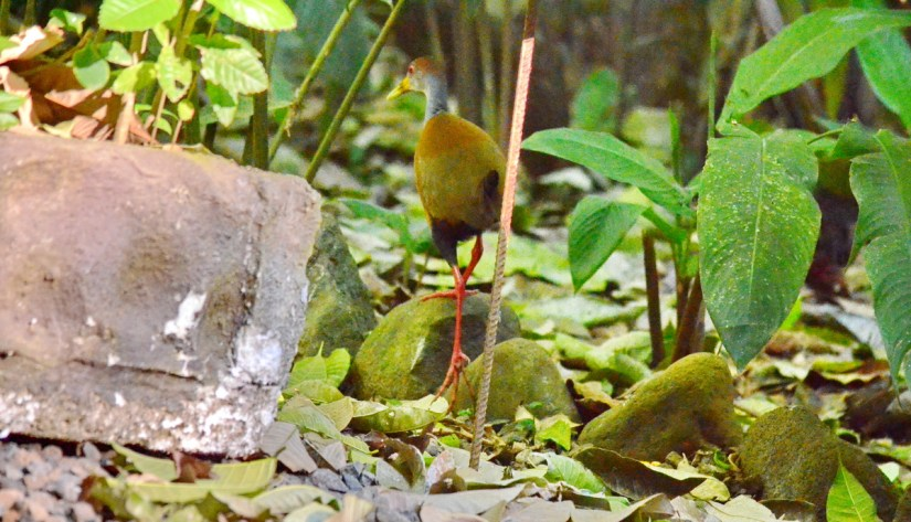 a russet-naped wood-rail, ecocentro danaus, la fortuna, costa rica