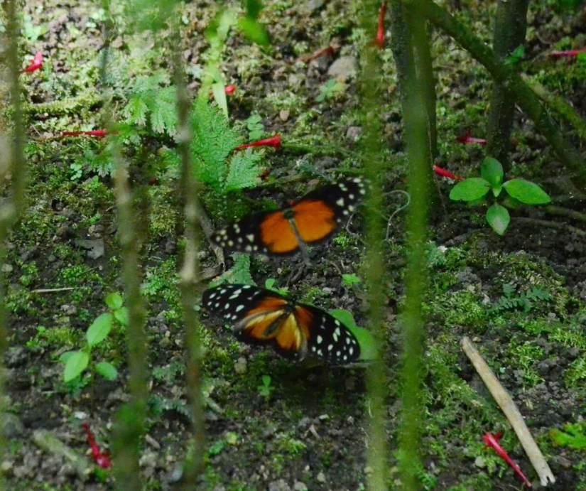 tiger longwing butterflies, ecocentro danaus, la fortuna, costa rica