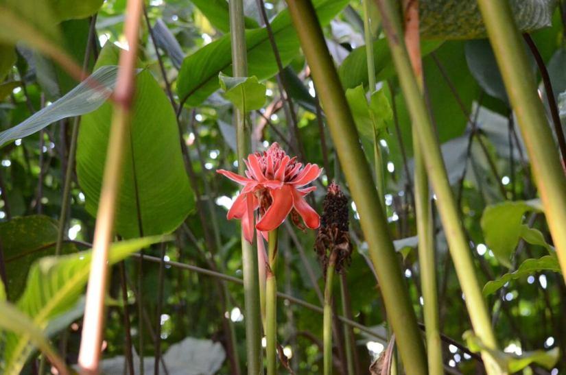 a torch ginger blossom, ecocentro danaus, la fortuna, costa rica