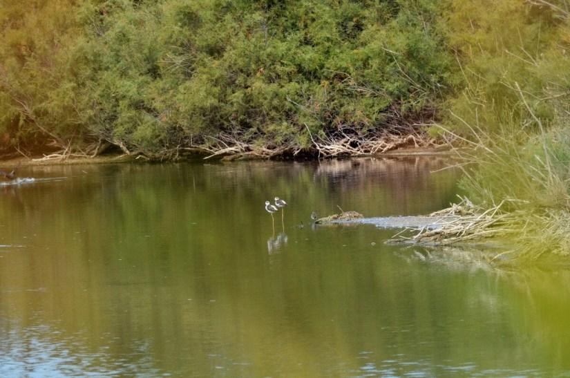 black-winged stilts, parco regionale veneto del delta del po, po river delta, italy