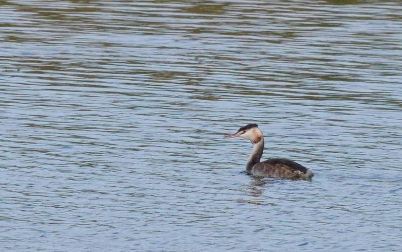 a great crested grebe, parco regionale veneto del delta del po, po river delta, italy