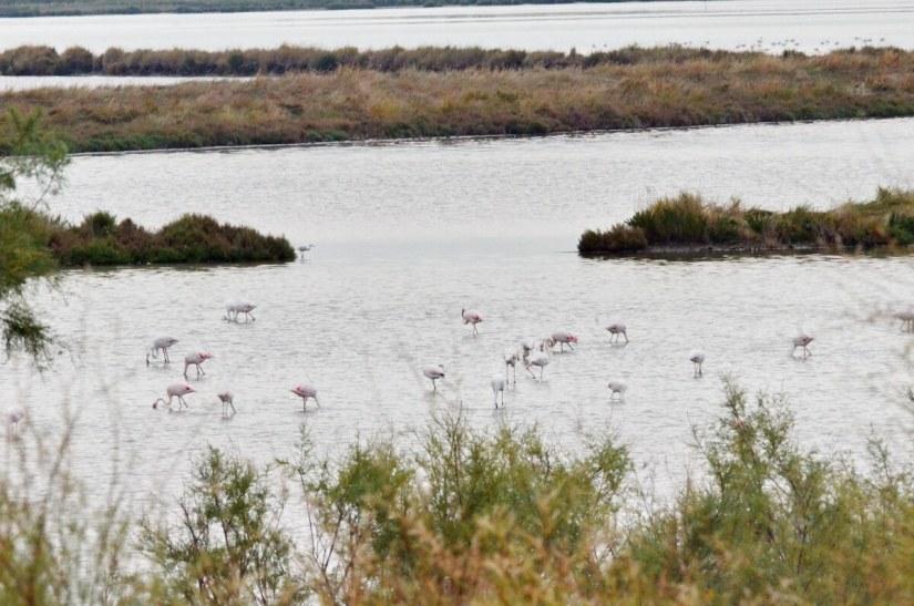greater flamingos, parco regionale veneto del delta del po, po river delta, italy