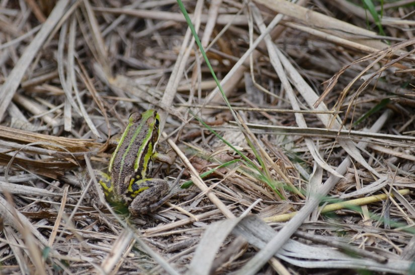a marsh frog, oasi di ca' mello, oasis of ca' mello, parco regionale veneto del delta del po, po river delta, italy