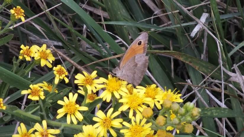 a small heath butterfly, oasi di ca' mello, oasis of ca' mello, parco regionale veneto del delta del po, po river delta, italy