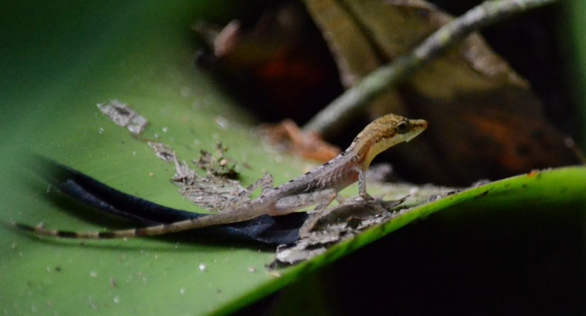 a yellow-headed gecko, ecocentro danaus, la fortuna, costa rica