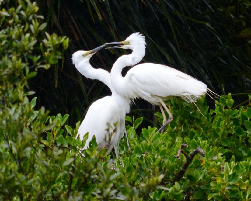 two white herons touching beaks, white heron sanctuary, south island, new zealand