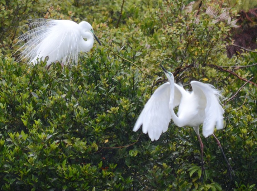 white heron courtship behaviour, white heron sanctuary. south island, new zealand