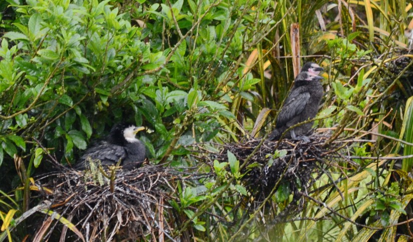 little shags in the nest, white heron sanctuary, south island, new zealand