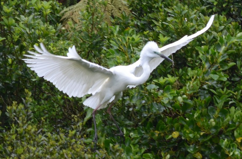 a white heron with twig in beak, white heron sanctuary, south island, new zealand