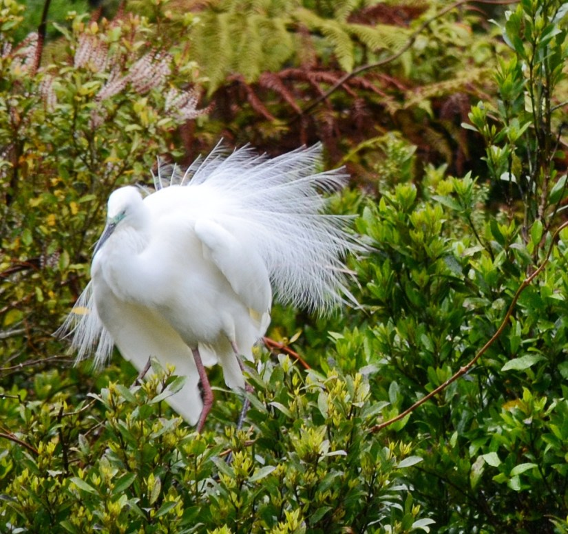 a white heron in breeding plumage, white heron sanctuary, south island, new zealand