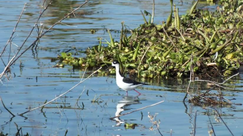 a black-necked stilt, lake chapala, mexico