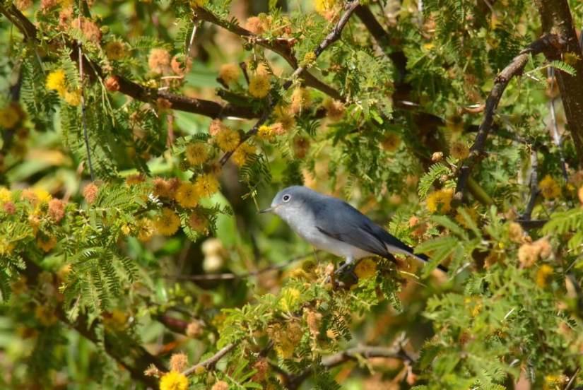 a blue-gray gnatcatcher, lake chapala, mexico