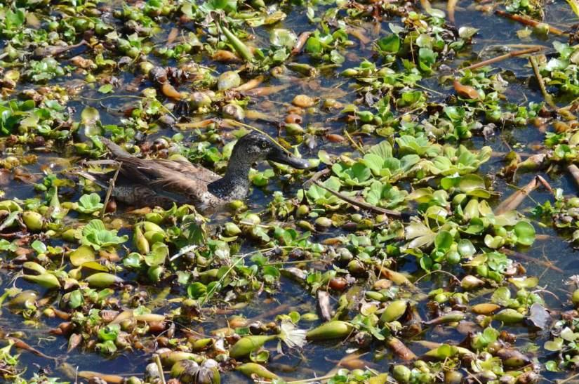 northern shoveler duck in water hyacinths, lake chapala, mexico