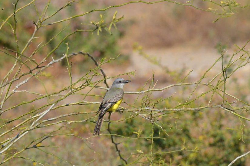 a tropical kingbird, lake chapala, mexico