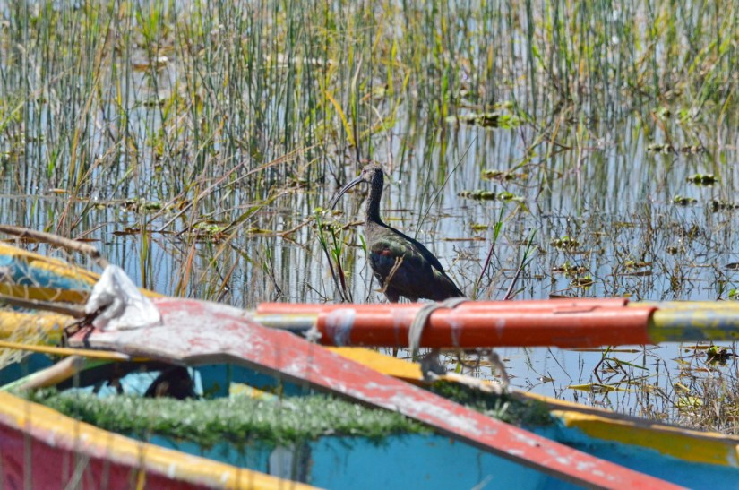 a white-faced ibis, lake chapala, mexico