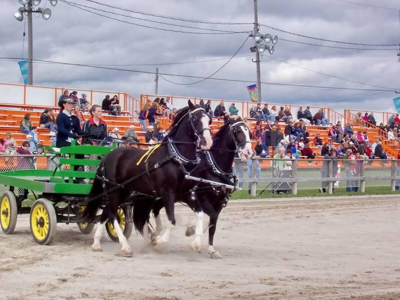 heavy horse competition, markham fair, markham, ontario, 2008