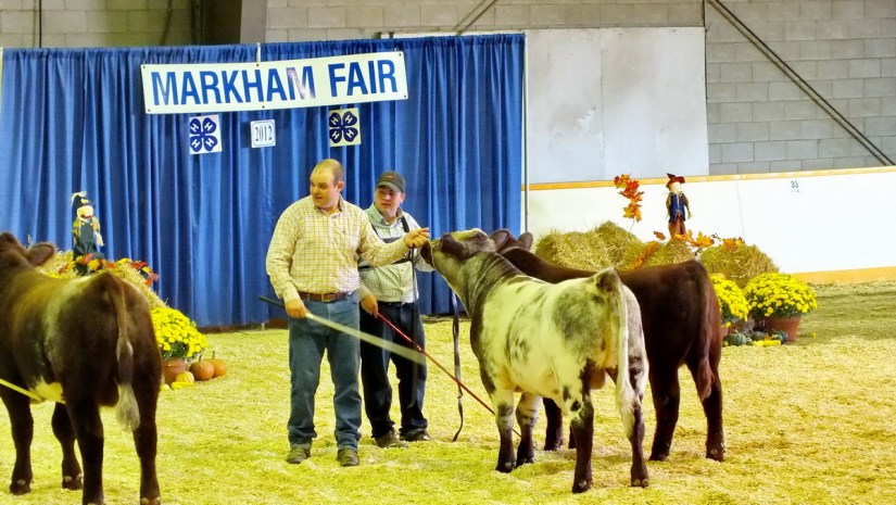 cattle being judged, markham fair, markham, ontario, 2012