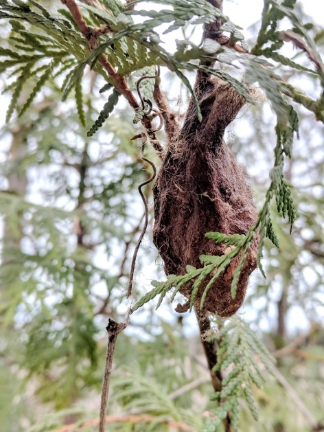 cecropia moth cocoon, rouge national urban park, markham, ontario