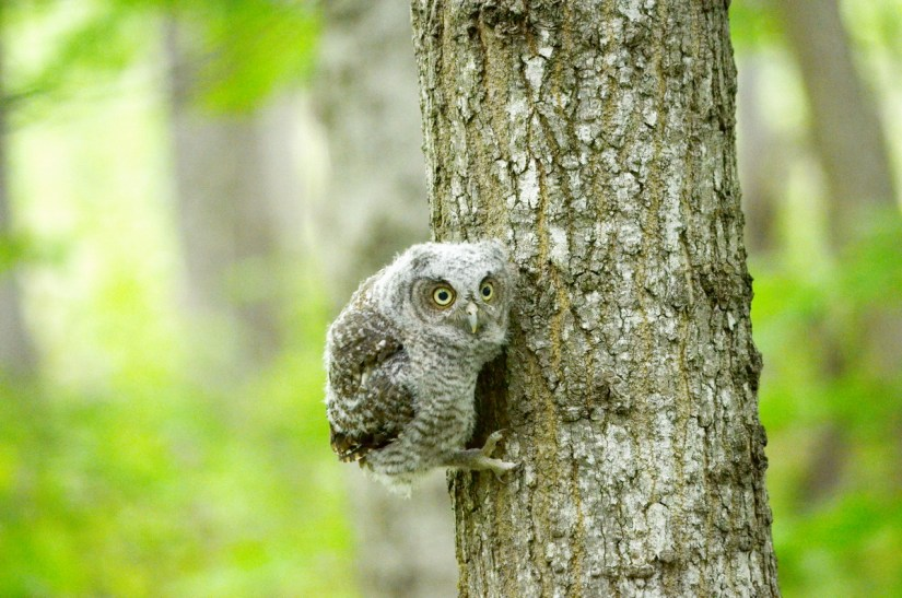 eastern screech owlet, rouge national urban park, toronto