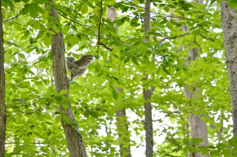 eastern screech owlet, rouge national urban park, toronto