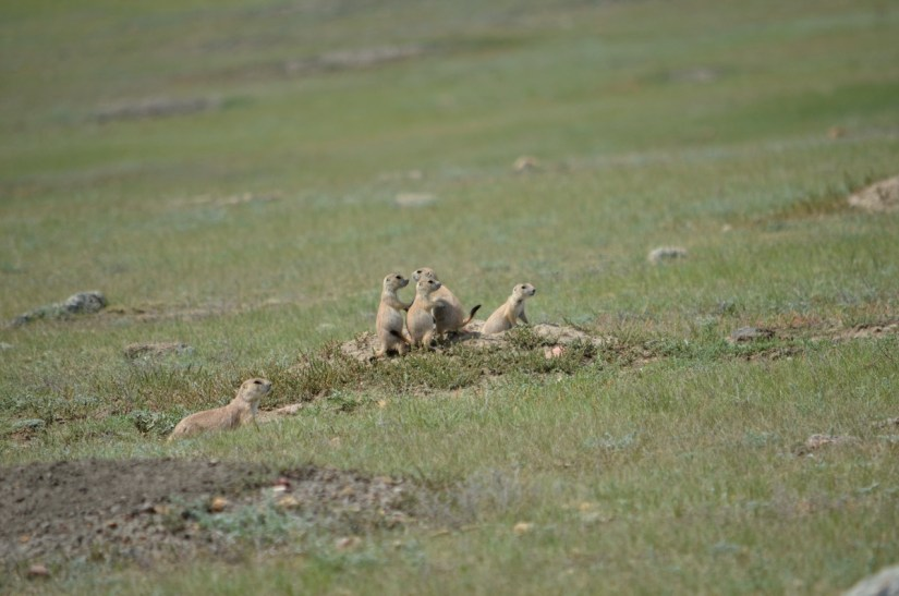 black-tailed prairie dogs, grasslands national park, saskatchewan