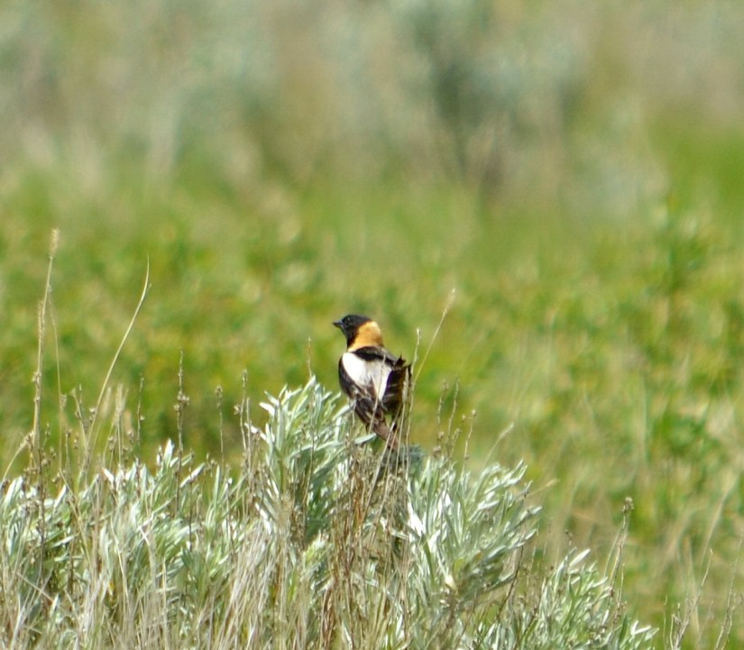 a bobolink, grasslands national park, saskatchewan
